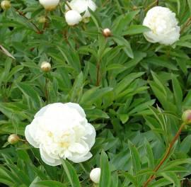 Paeonia lactiflora - Hybride 'Duchesse de Nemoirs', Edel-Pfingstrose - Bild vergrößern