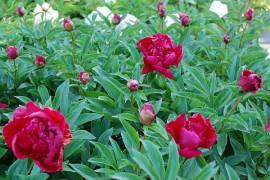 Paeonia lactiflora - Hybride 'Inspecteur Lavergne', Edel-Pfingstrose - Bild vergrößern