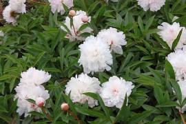 Paeonia lactiflora - Hybride 'Pecher', Edel-Pfingstrose - Bild vergrößern