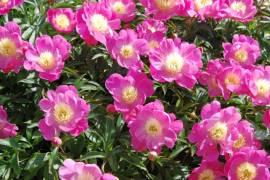 Paeonia lactiflora - Hybride 'Wladyslawa', Edel-Pfingstrose - Bild vergrößern