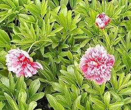 Paeonia officinalis  'Rosea Plena' Pfingstrose - Bild vergrößern
