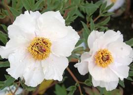 Paeonia suffruticosa 'Feng-Dan-Bai' Strauch-Pfingstrose, weiß - Bild vergrößern