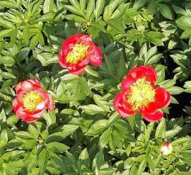 Paeonia lactiflora - Hybride 'Flame', Edelpfingstrose - Bild vergrößern