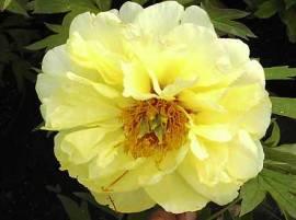 Paeonia suffruticosa 'High Noon' Strauch-Pfingstrose, gelb - Bild vergrößern