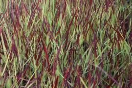 Panicum virgatum 'Külsenmoor' Rutenhirse - Bild vergrößern