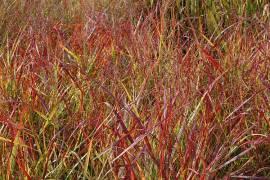 Panicum virgatum 'Rotstrahlbusch' Rutenhirse - Bild vergrößern