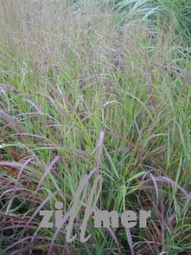 Panicum virgatum 'Shenandoah' Rutenhirse - Bild vergrößern