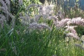 Pennisetum orientale 'Karley Rose' ® Lampenputzergras - Bild vergrößern