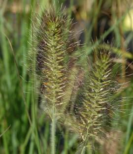Pennisetum alopecuroides 'Weserbergland'  Lampenputzergras - Bild vergrößern