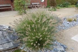 Pennisetum alopecuroides 'Hameln'  Lampenputzergras - Bild vergrößern