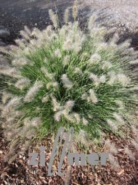 Pennisetum alopecuroides 'Little Honey'  Lampenputzergras - Bild vergrößern