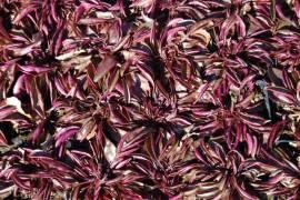 Penstemon hirsutus  'Pygmaeus', Zwerg - Bartfaden - Bild vergrößern