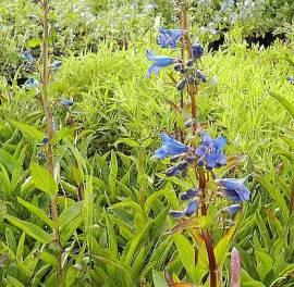 Penstemon heterophyllus 'Züriblau', verschiedenblättriger Bartfaden - Bild vergrößern