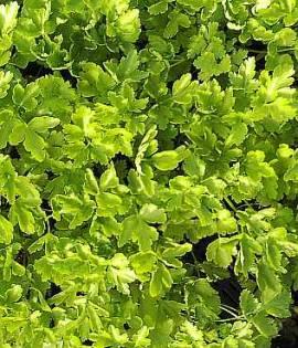 Petroselinum neapolitanum, Glatte Petersilie - Bild vergrößern