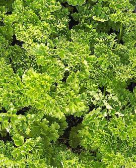 Petroselinum crispum 'Smaragd' krause Petersilie - Bild vergrößern