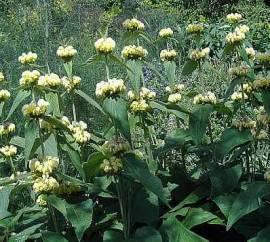 Brandkraut, Phlomis russelliana - Bild vergrößern