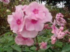 Phlox Paniculata - Hybride 'Landhochzeit', Flammenblume - Bild vergrößern