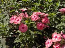 Flammenblume, Phlox Paniculata - Hybride 'Redivivus' - Bild vergrößern