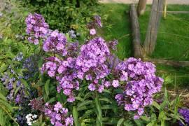 Flammenblume, Phlox Paniculata - Hybride 'Blue Paradise' - Bild vergrößern