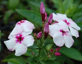 Phlox Paniculata - Hybride 'White Eye Flame', Flammenblume - Bild vergrößern