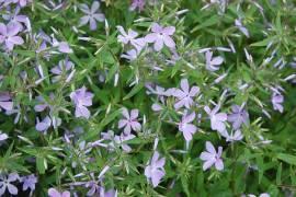 Phlox divaricata var. laphamii, Waldphlox Flammenblume - Bild vergrößern