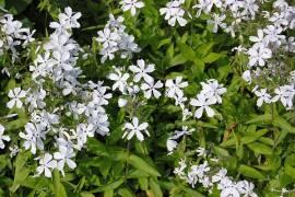 Phlox divaricata 'White Perfume', Flammenblume - Bild vergrößern