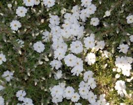 Phlox douglasii 'White Admiral' Polsterphlox - Bild vergrößern