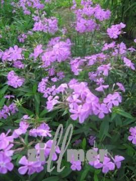 Phlox glaberrima ssp. triflora 'Bill Baker', Vorsommer - Phlox - Bild vergrößern