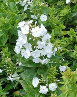 Flammenblume, Wiesenphlox, Phlox Maculata - Hybride 'Mrs. Lingard' - Bild vergrößern