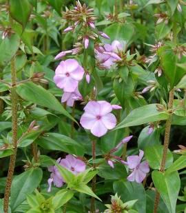 Phlox Maculata - Hybride 'Rosalinde', Wiesenphlox - Bild vergrößern