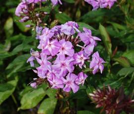 Phlox Paniculata - Hybride 'Blue Boy', Flammenblume - Bild vergrößern