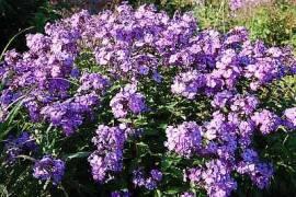 Phlox Paniculata - Hybride 'Blue Paradise, Flammenblume - Bild vergrößern
