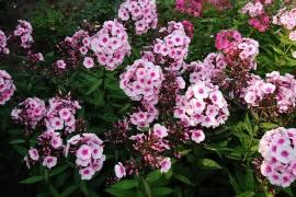 Phlox Paniculata - Hybride 'Bright Eyes, Flammenblume - Bild vergrößern