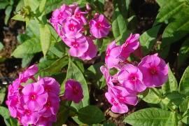 Phlox Paniculata - Hybride 'Cosmopolitan', Flammenblume - Bild vergrößern