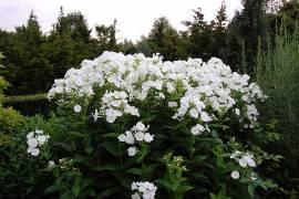 Flammenblume, Phlox Paniculata - Hybride 'Danielle' - Bild vergrößern
