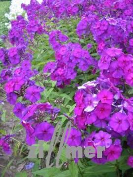 Phlox Paniculata - Hybride 'Düsterlohe', Flammenblume - Bild vergrößern