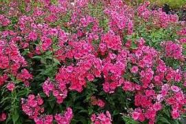 Phlox Paniculata - Hybride 'Flammenkuppel', Flammenblume - Bild vergrößern