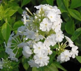Phlox Paniculata - Hybride 'Fujiyama', Flammenblume - Bild vergrößern