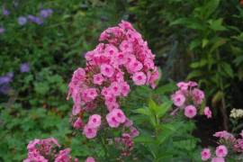 Phlox Paniculata - Hybride 'Herbstwalzer', Flammenblume - Bild vergrößern