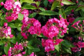 Phlox Paniculata - Hybride 'Karminflut', Flammenblume - Bild vergrößern