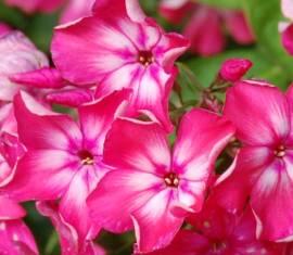 Phlox Paniculata - Hybride 'Kemeru Zemi', Flammenblume - Bild vergrößern