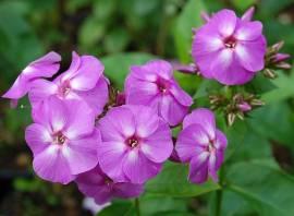 Phlox Paniculata - Hybride 'Lilac Flame', Flammenblume - Bild vergrößern