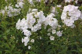 Flammenblume, Phlox Paniculata - Hybride 'Nymphenburg' - Bild vergrößern