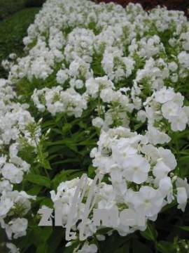 Phlox Paniculata - Hybride 'Rembrandt', Flammenblume - Bild vergrößern