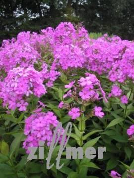 Phlox Paniculata - Hybride 'Robert Poore', Flammenblume - Bild vergrößern