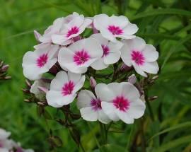 Phlox Paniculata - Hybride 'Swizzle', Flammenblume - Bild vergrößern