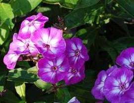 Flammenblume, Phlox Paniculata - Hybride 'Uspech' - Bild vergrößern