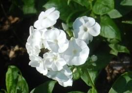 Phlox Paniculata - Hybride 'Younique'®,weiß Flammenblume - Bild vergrößern