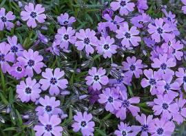 Phlox subulata 'Purple Beauty' Polsterphlox - Bild vergrößern