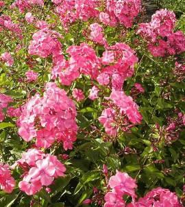 5 Phlox Paniculata, Hoher Sommerphlox, Flammenblumen 5 Pflanzen, bunt gemischt - Bild vergrößern